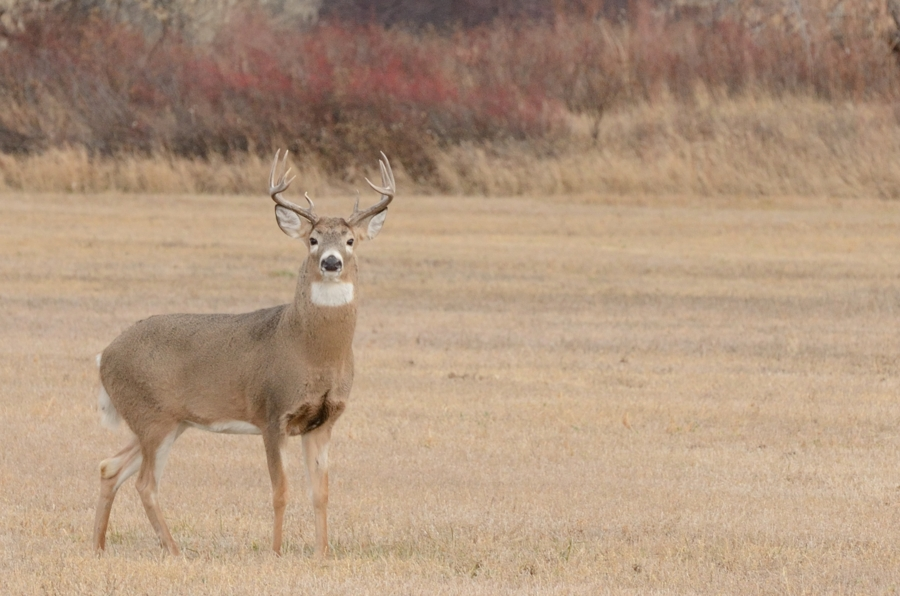 Buck in Menan Idaho