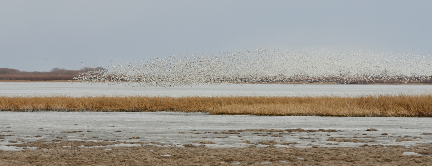 Snow Geese Mud Lake