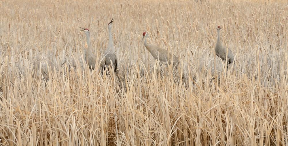 Sandhill Cranes, Market Lake, Idaho