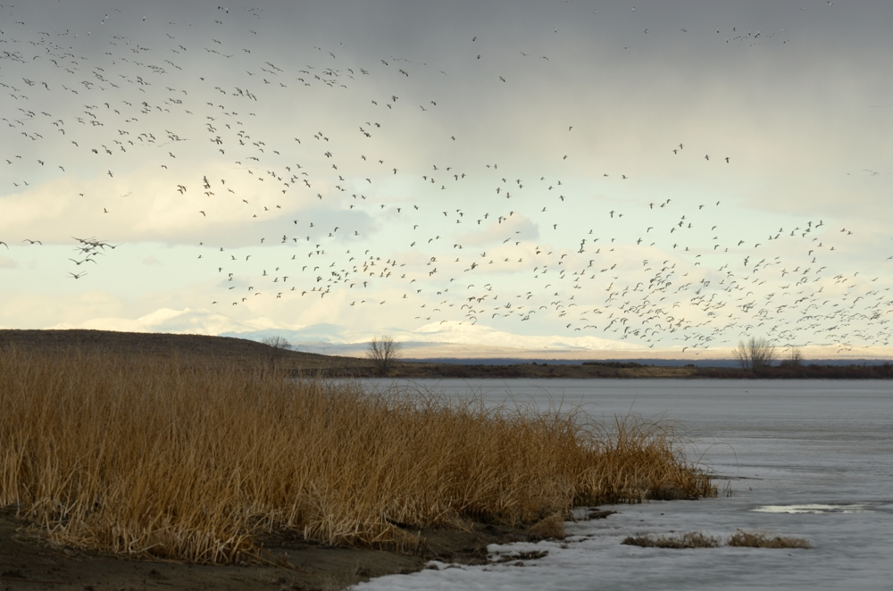 Snow Geese, Mud Lake, Idaho