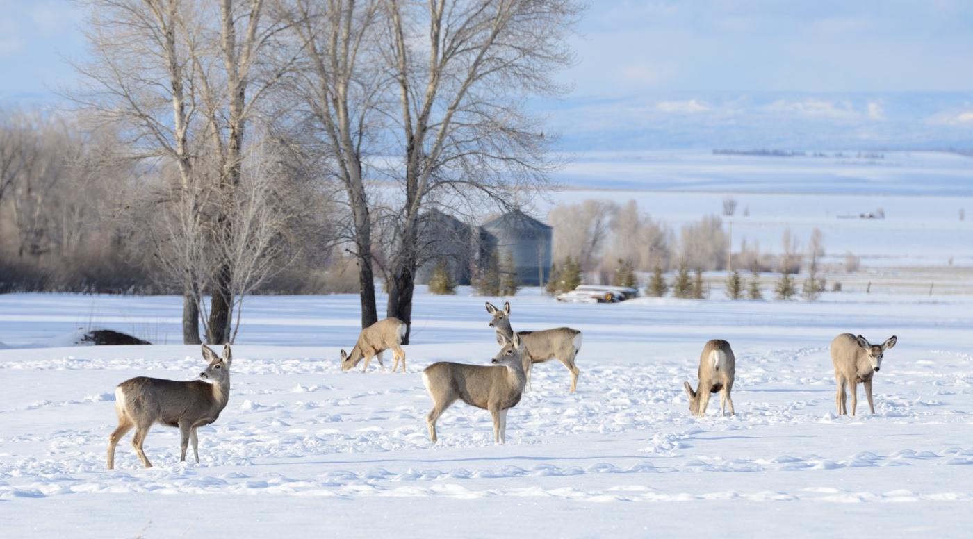 Teton Deers